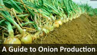 A Guide to Onion Production