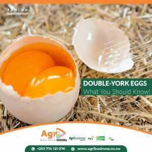 DOUBLE-YORK EGGS: WHAT YOU SHOULD KNOW!