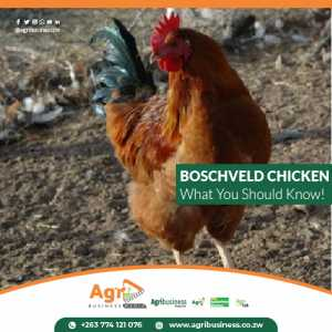 CHARACTERISTICS OF A BOSCHVELD CHICKEN