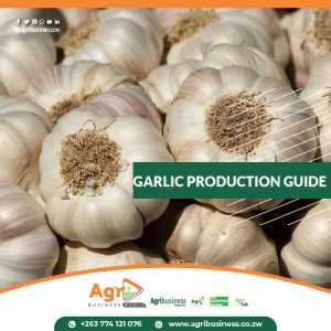 Garlic Production Guide